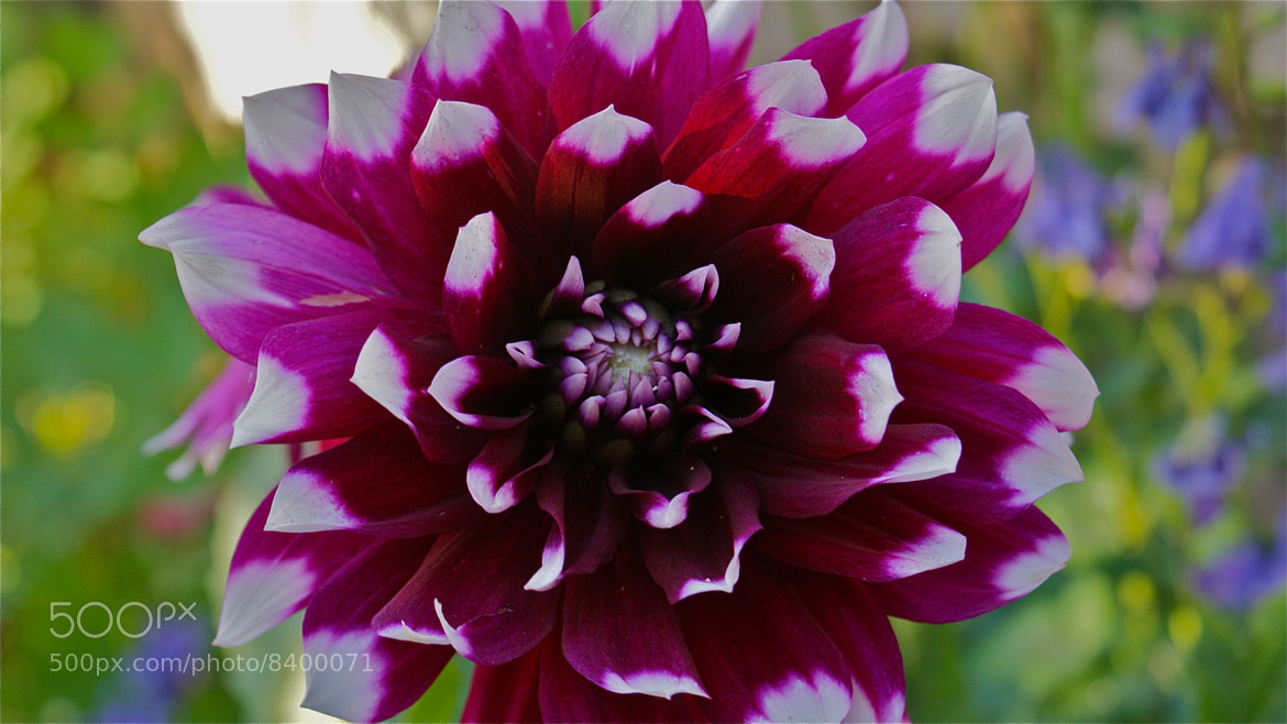Photograph Giant Dahlia  by Zack Parton on 500px