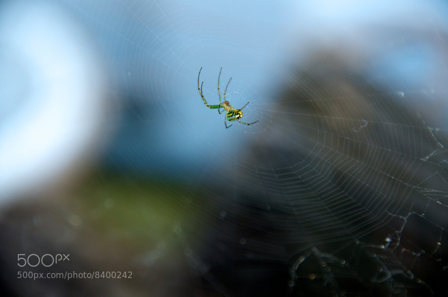 Bronx Garden Spider by C.K. Sample III (cksample) on 500px.com
