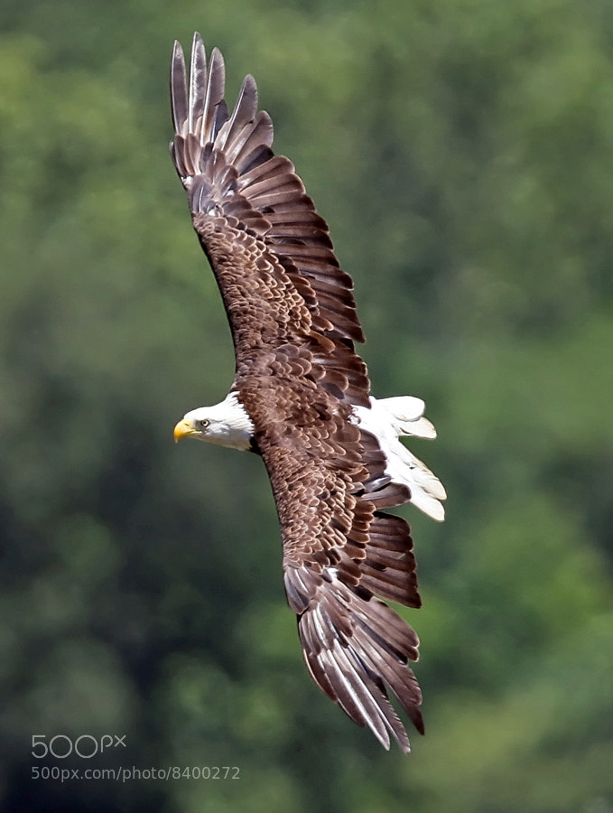This American Bald Eagle is missing a few tail feathers.  It was photographed soaring near the Conawingo Dam, Harford County, Maryland.