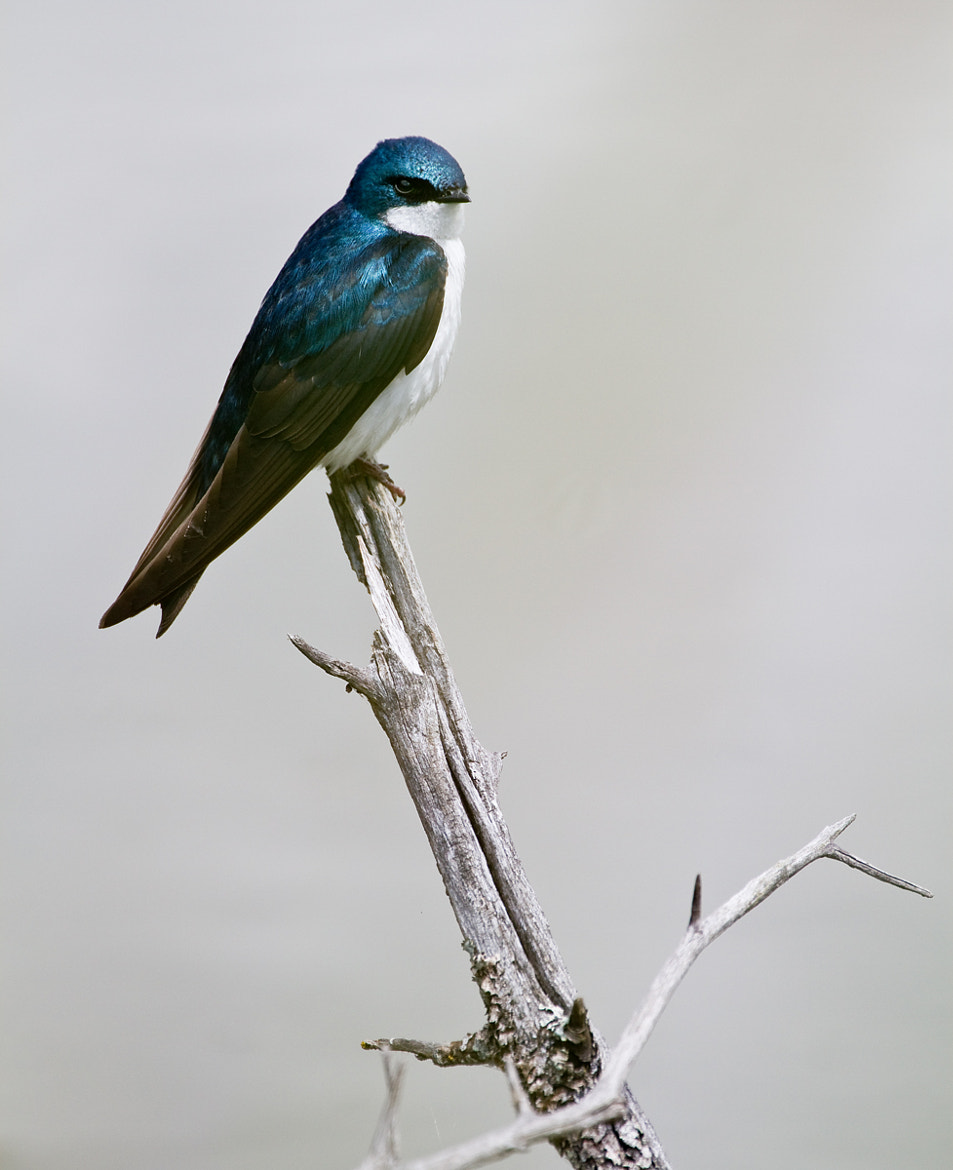 Photograph Tree Swallow by Robert D. MacNevin on 500px