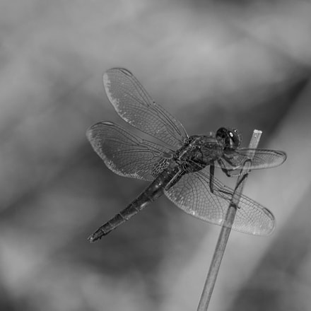 Dragonfly in monochrome