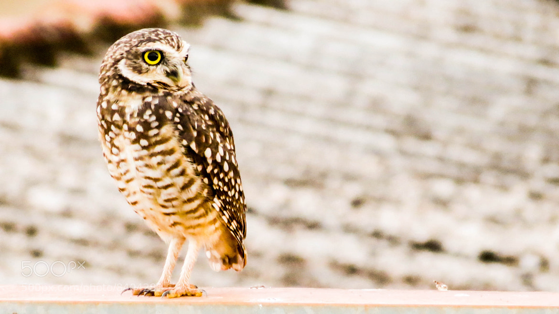 Photograph owl, the symbol of wisdom by F. Cordeiro on 500px