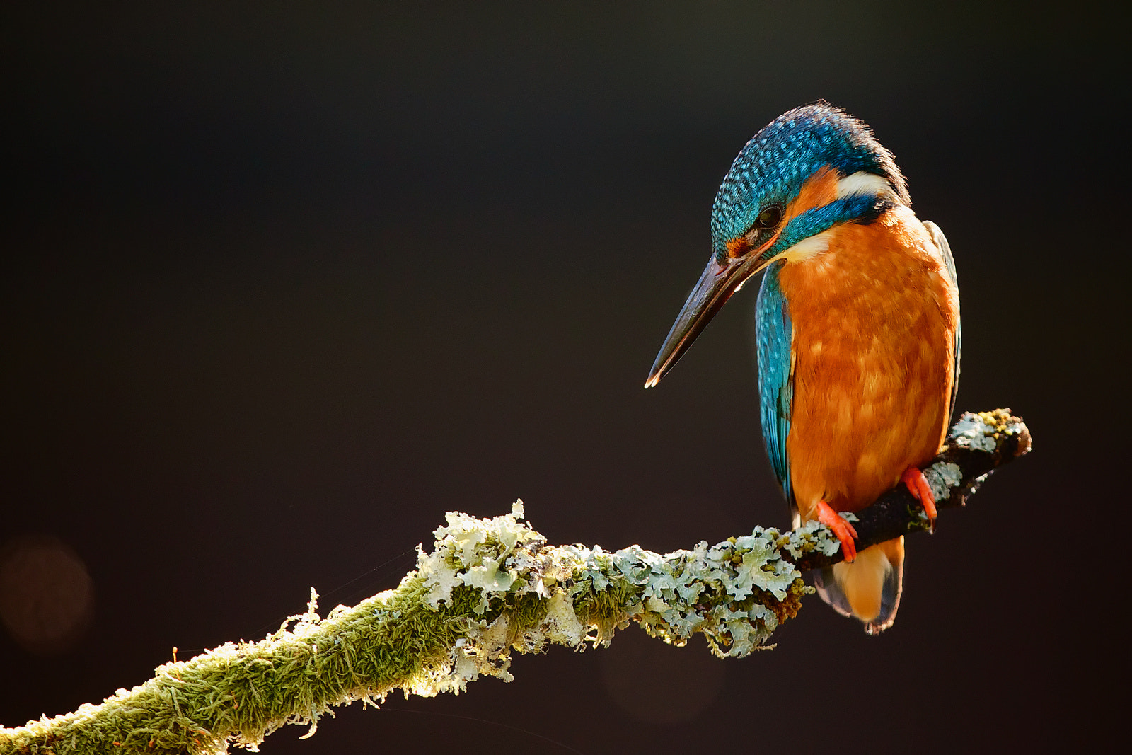 Photograph Kingfisher by Mark Bridger on 500px