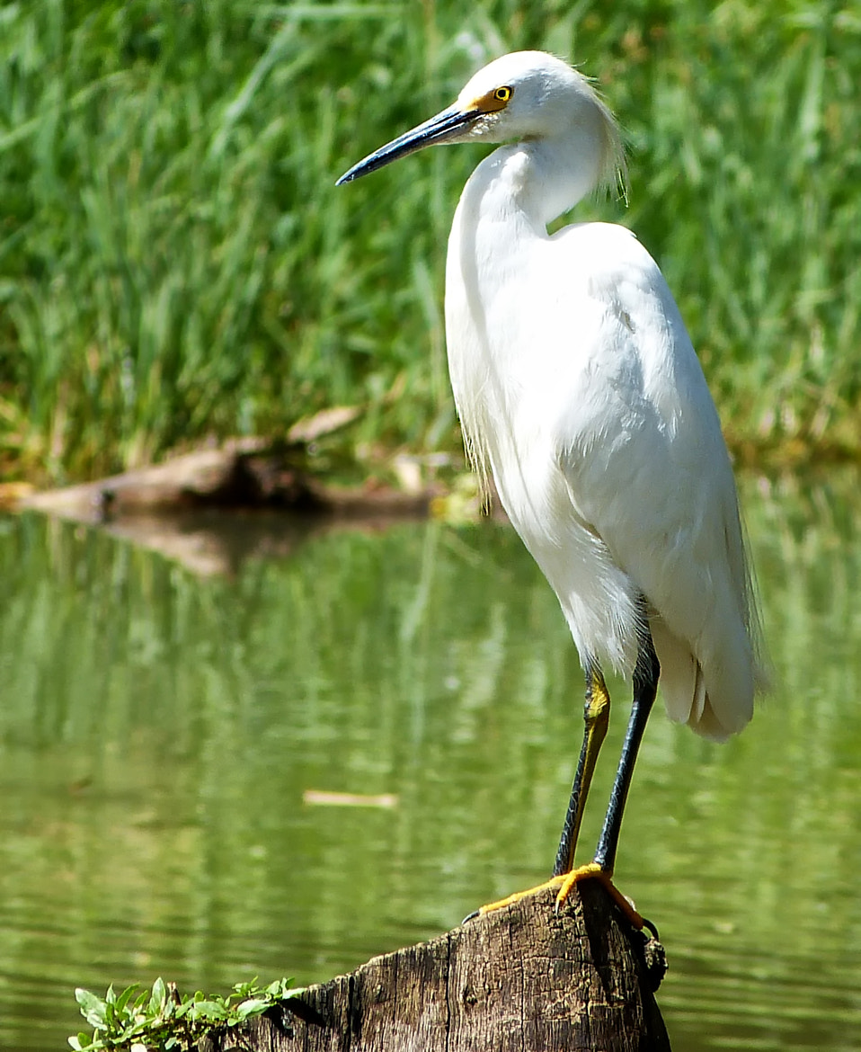 Photograph  Great Egret by  Soli Rocha on 500px
