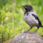 Постер, плакат: Hooded Crow