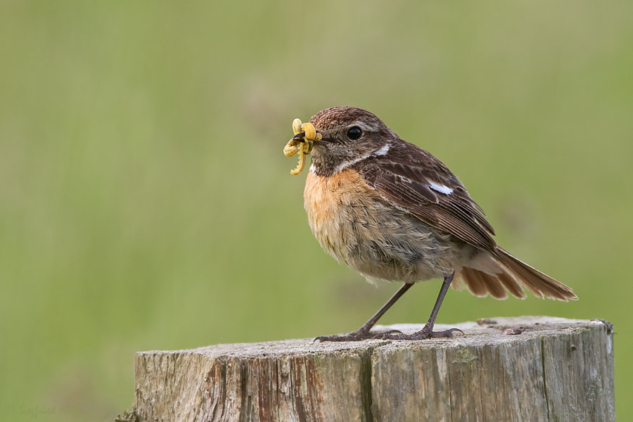 Photograph Hungry ? - African Stonechat by Siegfried Noët on 500px
