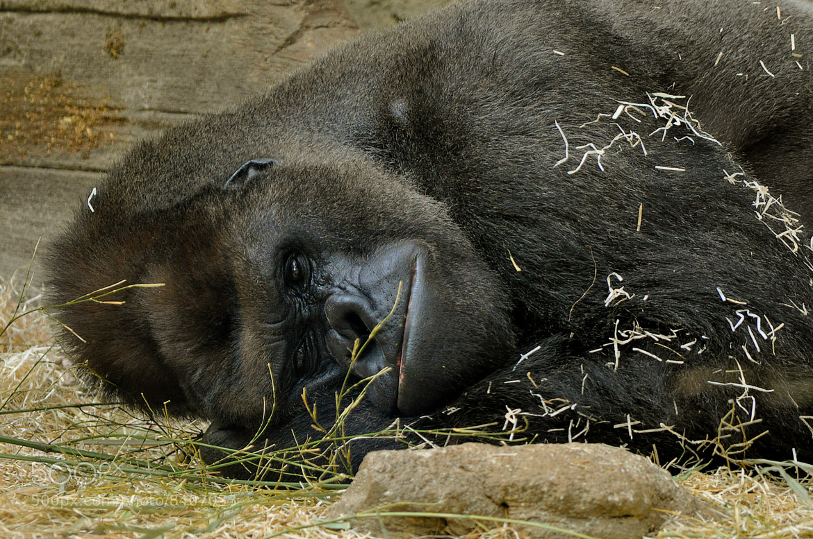 Photograph Gorilla Having Siesta by Jose Antonio Castellanos on 500px