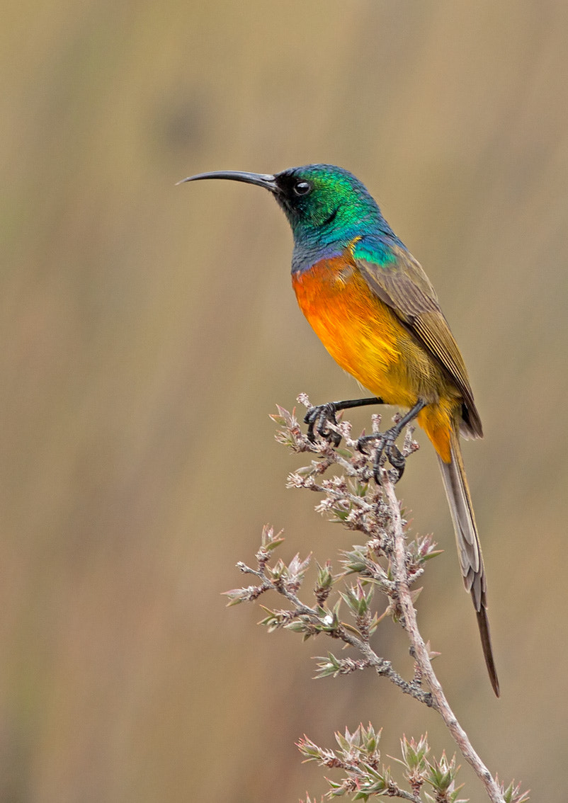Photograph Orange-breasted Sunbird by Desiré Darling on 500px