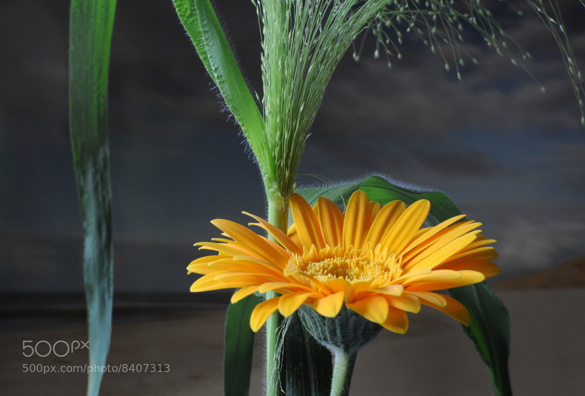 Photograph Gerbera by JohnDesq Imaging on 500px