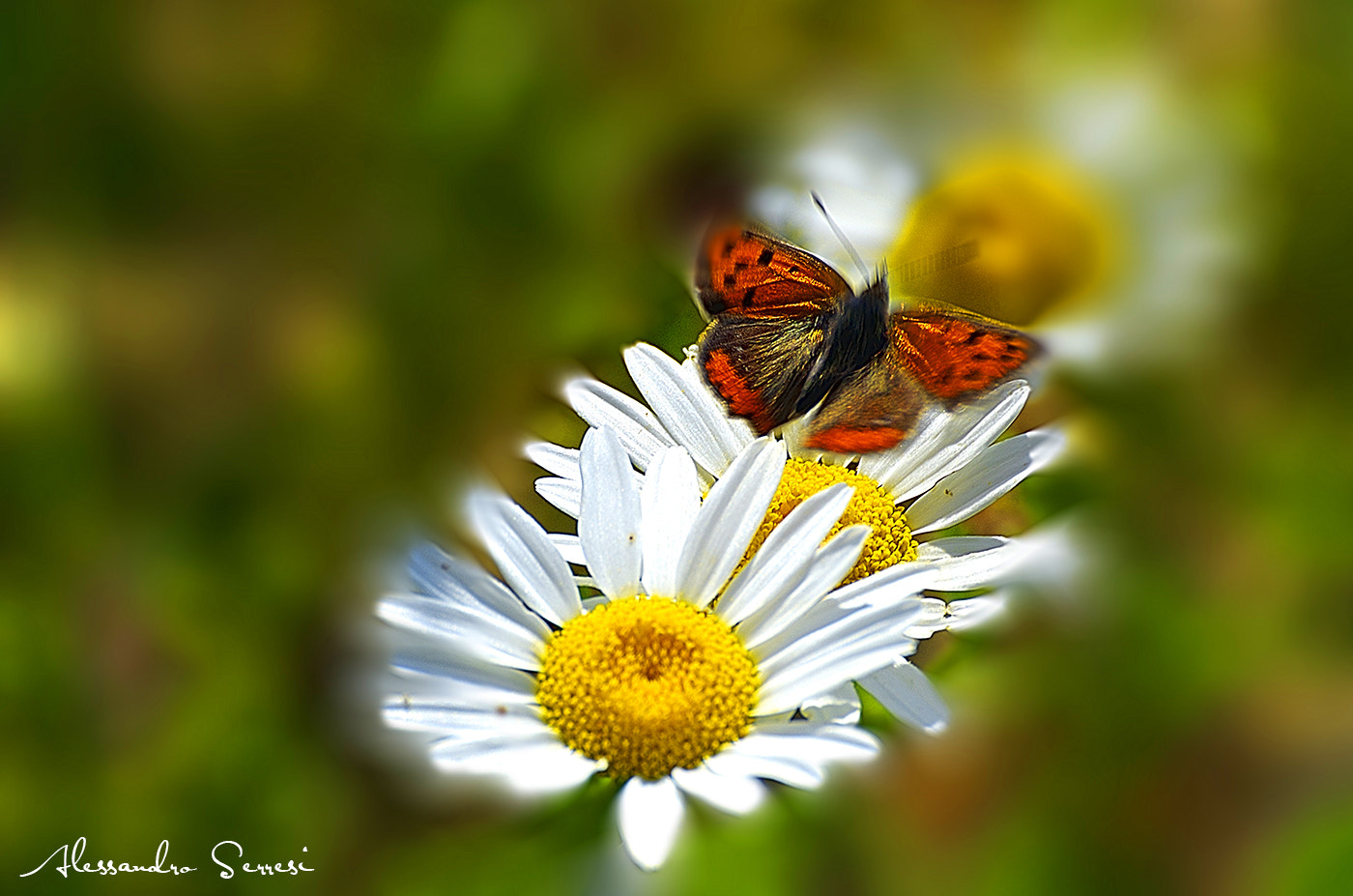 Photograph BUTTERFLY ON THE DAISY by Alessandro Serresi on 500px