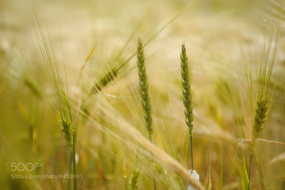 Photograph ~ wheat to barley ~ by mk-pictures  on 500px