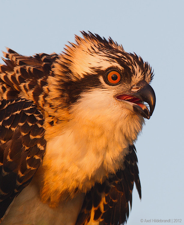 Photograph Osprey at First Light by Axel Hildebrandt on 500px