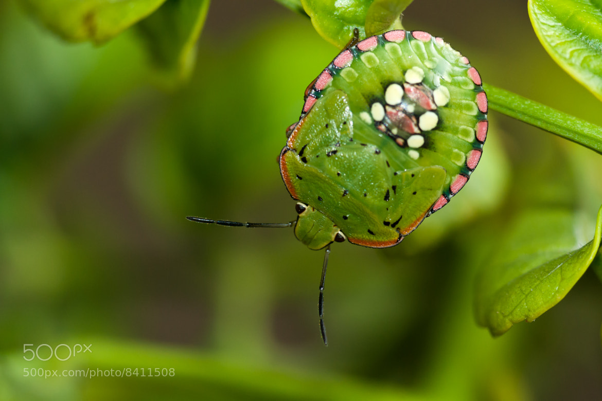 Photograph Nezara viridula by Michel Tronchetti on 500px