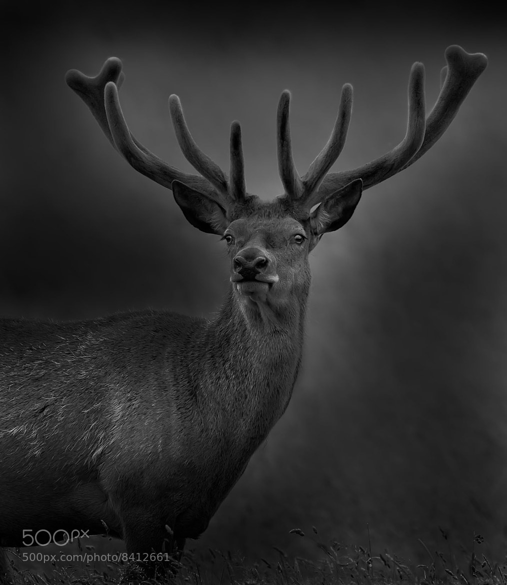 Photograph Stag! by Sue Demetriou on 500px