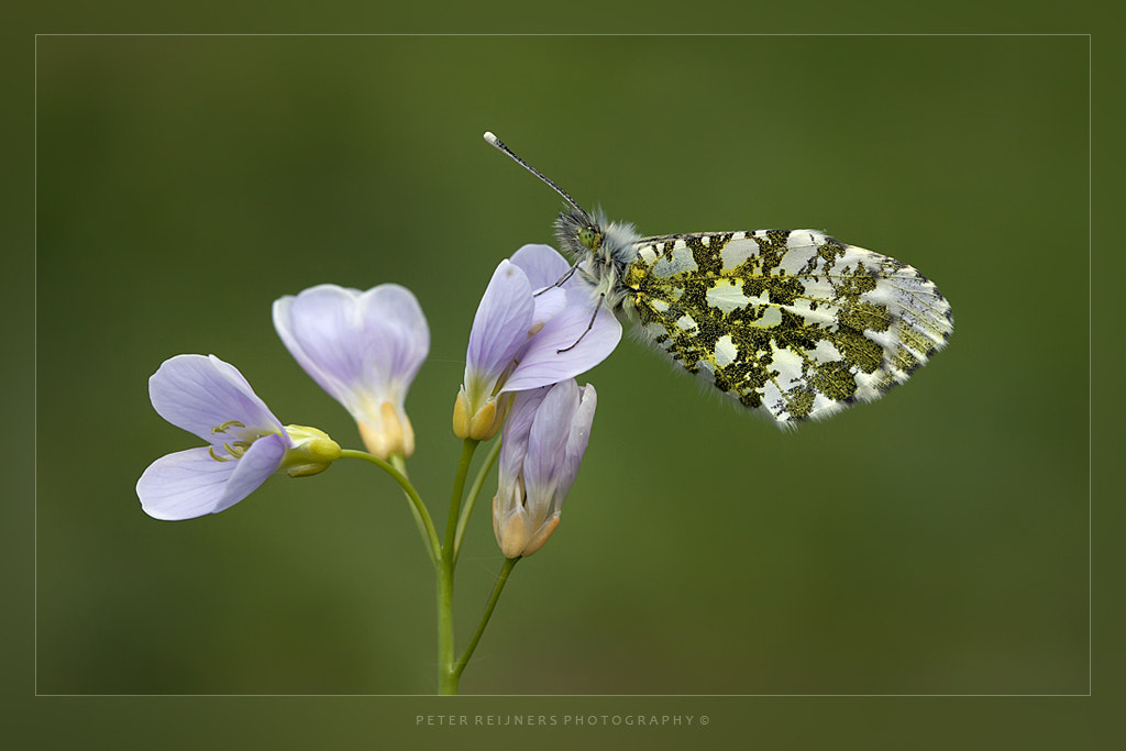 Photograph Anthocharis cardamines sitting on a Cardamine pratensis by Peter Reijners on 500px