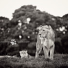 ������, ������: Lions | Whipsnade Zoo Bedfordshire