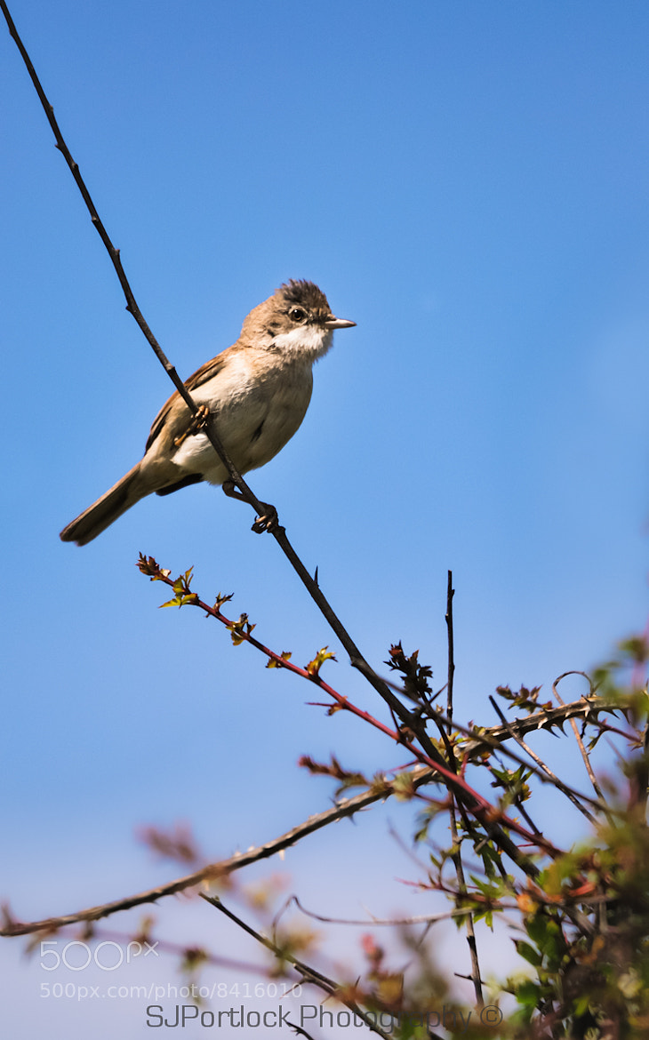 Photograph Whitethroat by Stephen Portlock on 500px