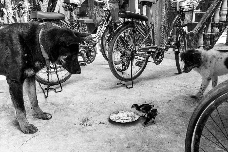 Birds eating Dogs Food - Laos