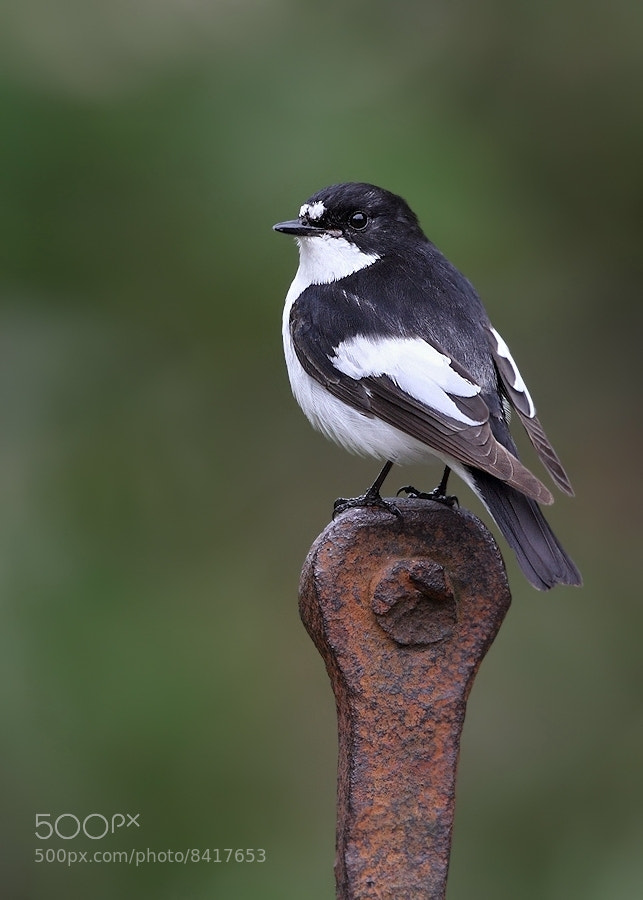 Photograph Male Pied Flycatcher by Karen Summers on 500px