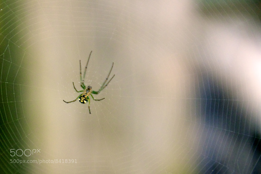 Spider in her web by C.K. Sample III (cksample) on 500px.com