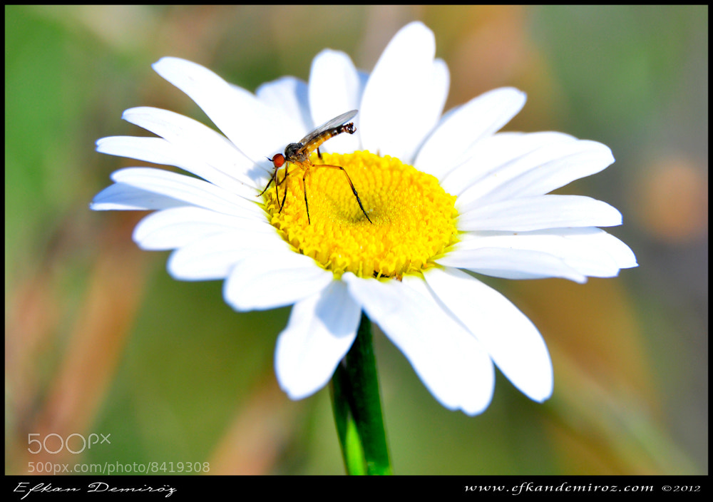 Photograph camomile  - macro by efkan demiröz on 500px