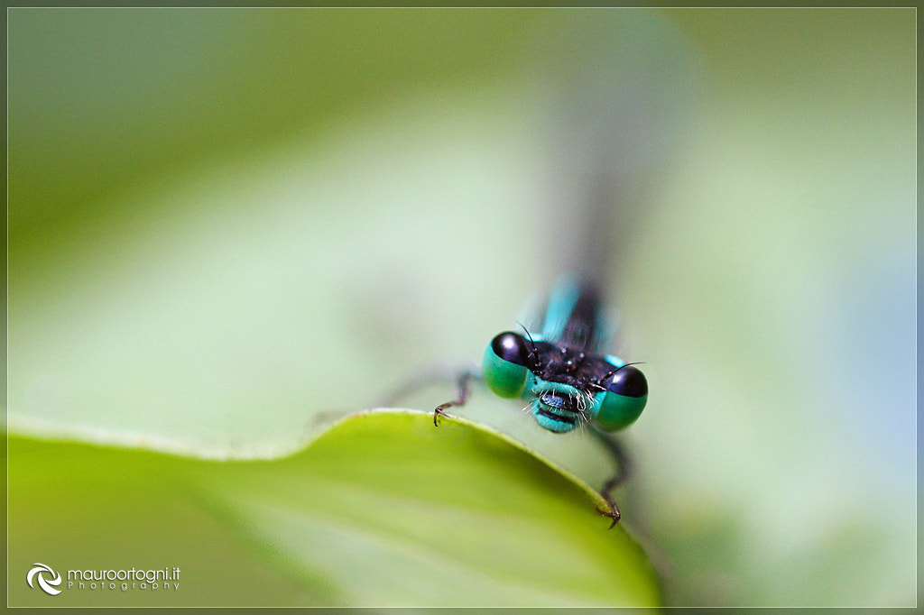 Photograph Agrion splendens by Mauro Ortogni on 500px