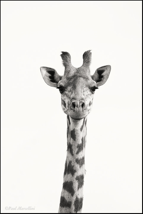 Photograph Masai Giraffe by Paul Marcellini on 500px