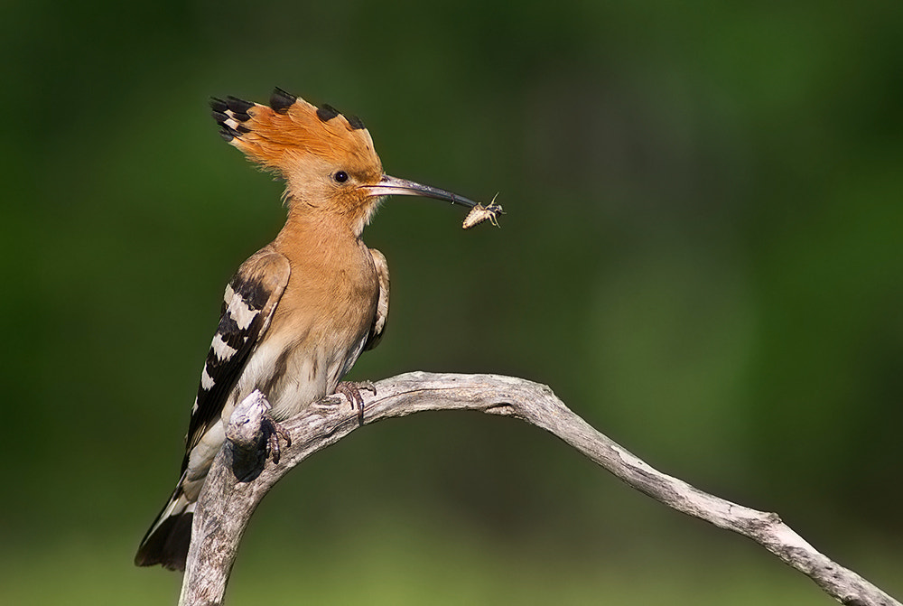 Photograph hoopoe forever by Miklos Liziczai on 500px