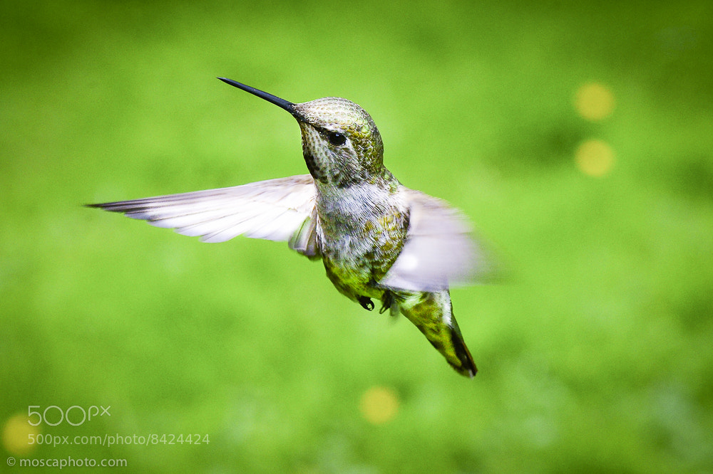 Photograph Colibri 3 by Josh Kincaid on 500px