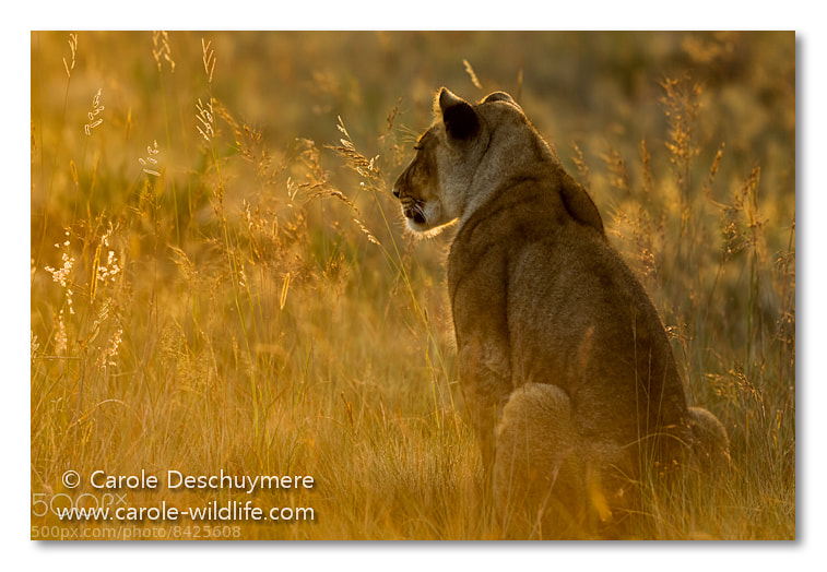 Photograph lioness in evening light by Deschuymere Carole on 500px