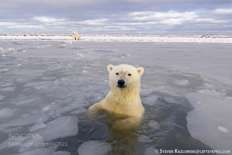 Photograph Polar Bear Bath by Steve Kazlowski ❘ LeftEyePro on 500px