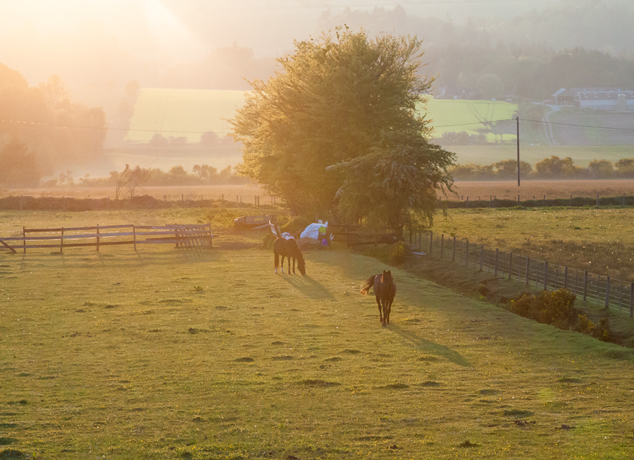 Photograph Horses at Sunset, North Kessock, Scotland. by Stanton Champion on 500px