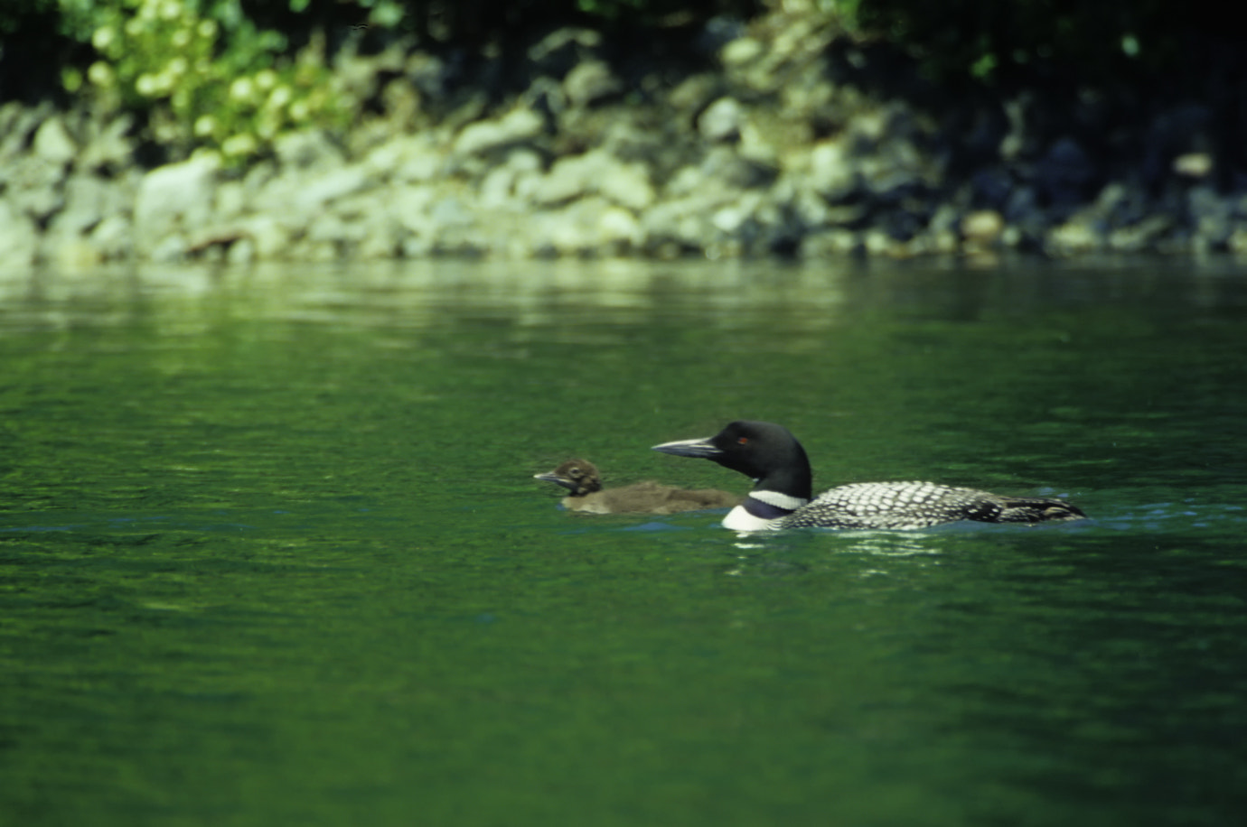 Photograph Voyageurs NP Loons by Ken Kvam on 500px