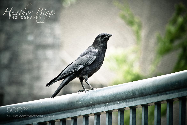 Photograph Black bird  by Heather Biggs on 500px