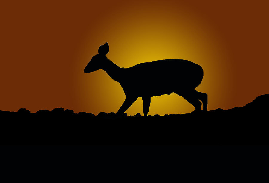 Photograph Bushbuck Silhouette  by Clive Wright on 500px