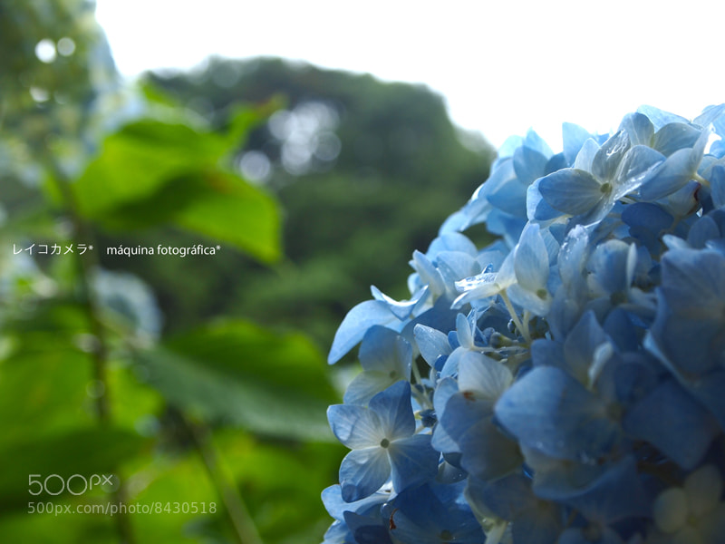 Photograph ajisai 6 by Reico  on 500px