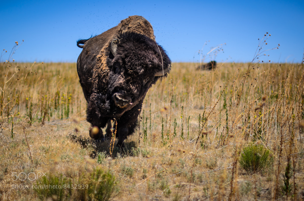 Bison Charging Photograph A fixed 50m...