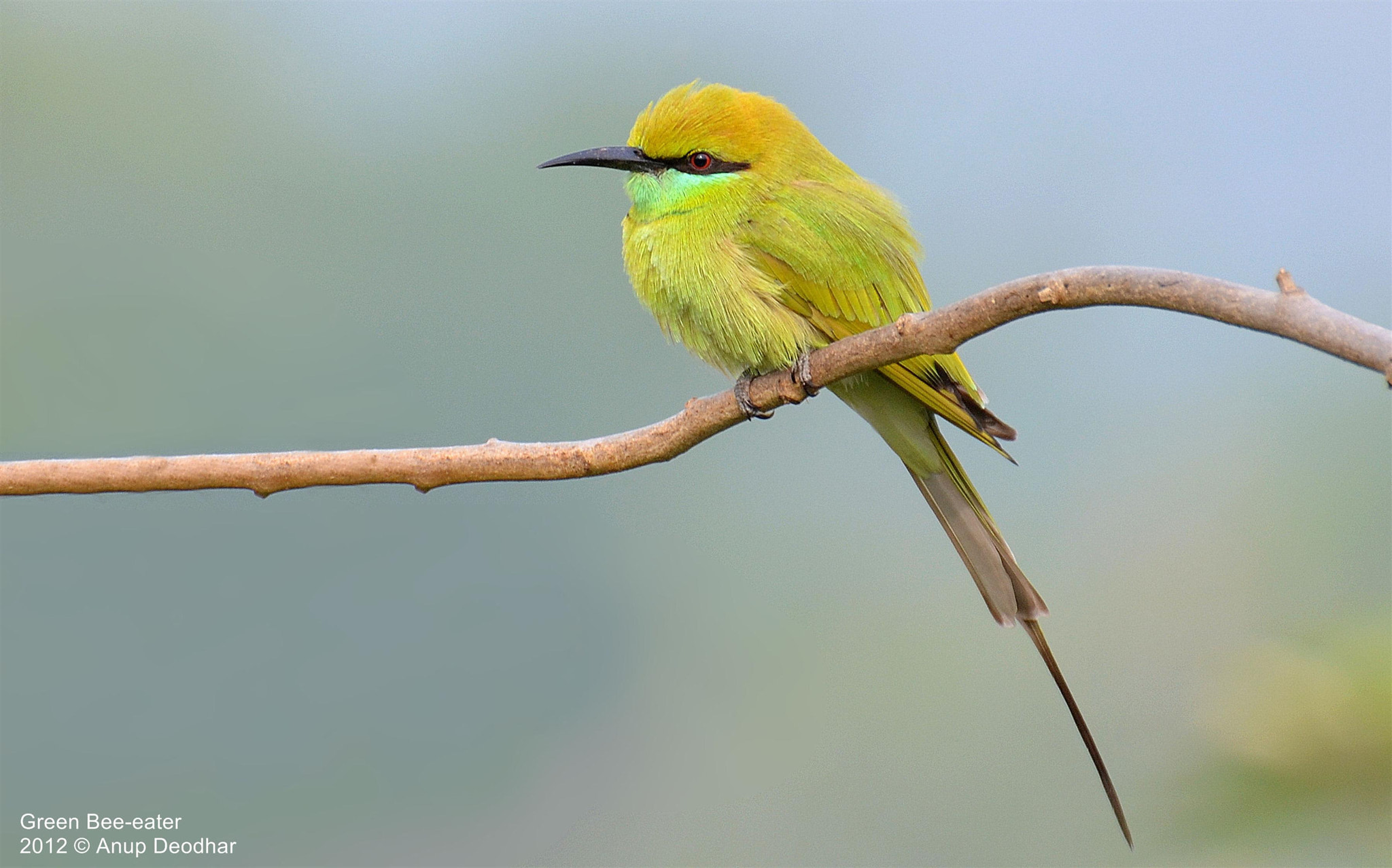 Photograph Green Bee-eater by Anup Deodhar on 500px