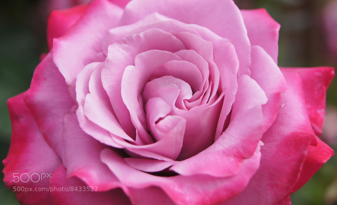 Photograph Rose XI by Erik Anderson on 500px