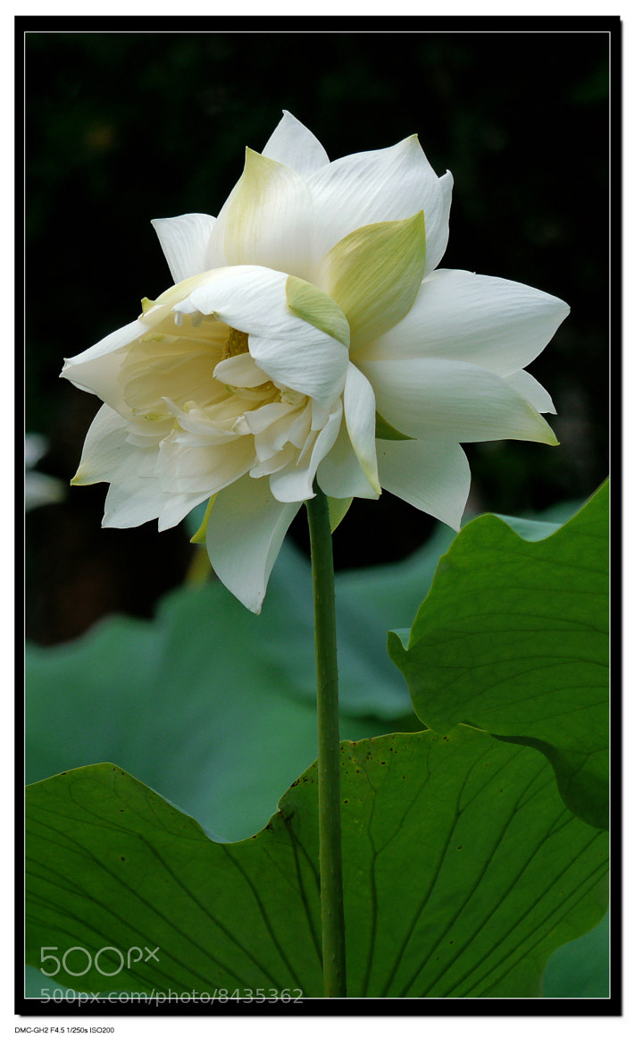 Photograph Twin White Lotus by Sherman C. on 500px