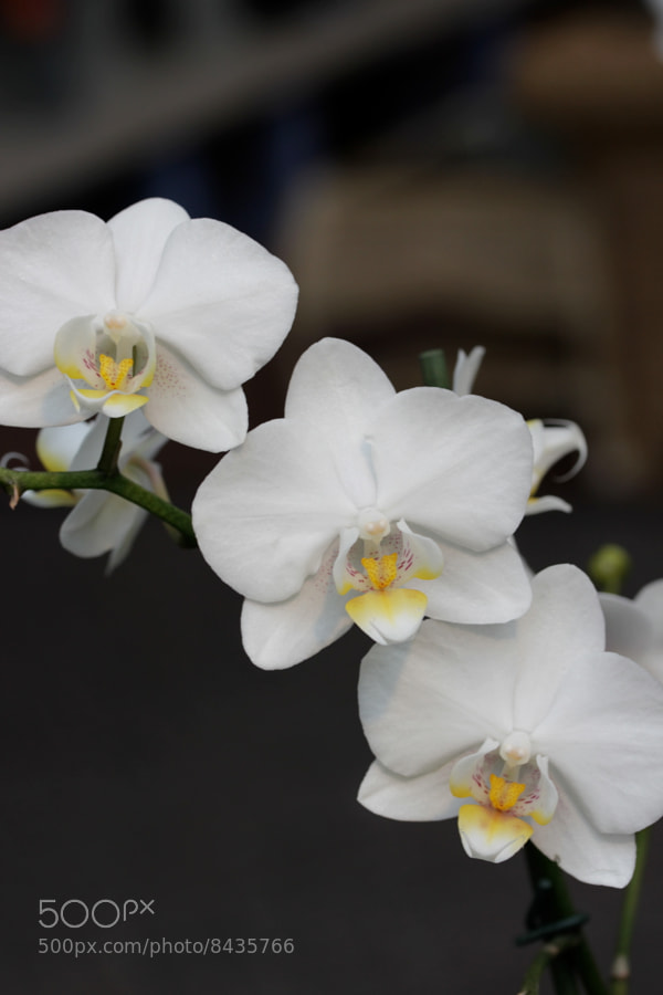 Photograph Trio of white orchids by Jean Allenet on 500px