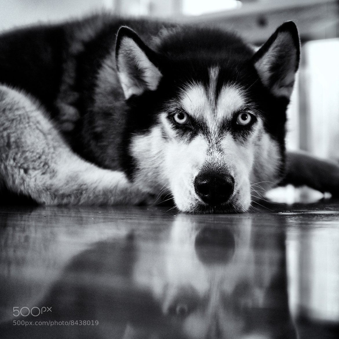 Photograph Husky by Craig Mitchell on 500px