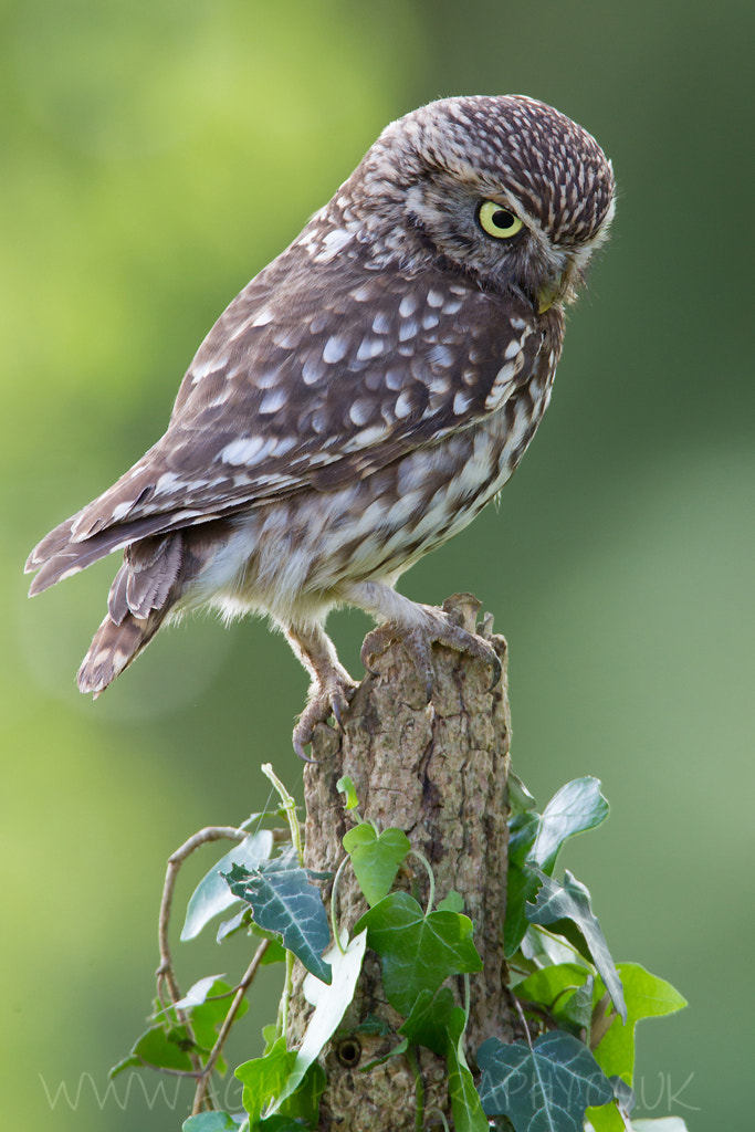 Photograph Little Owl by Tony House on 500px