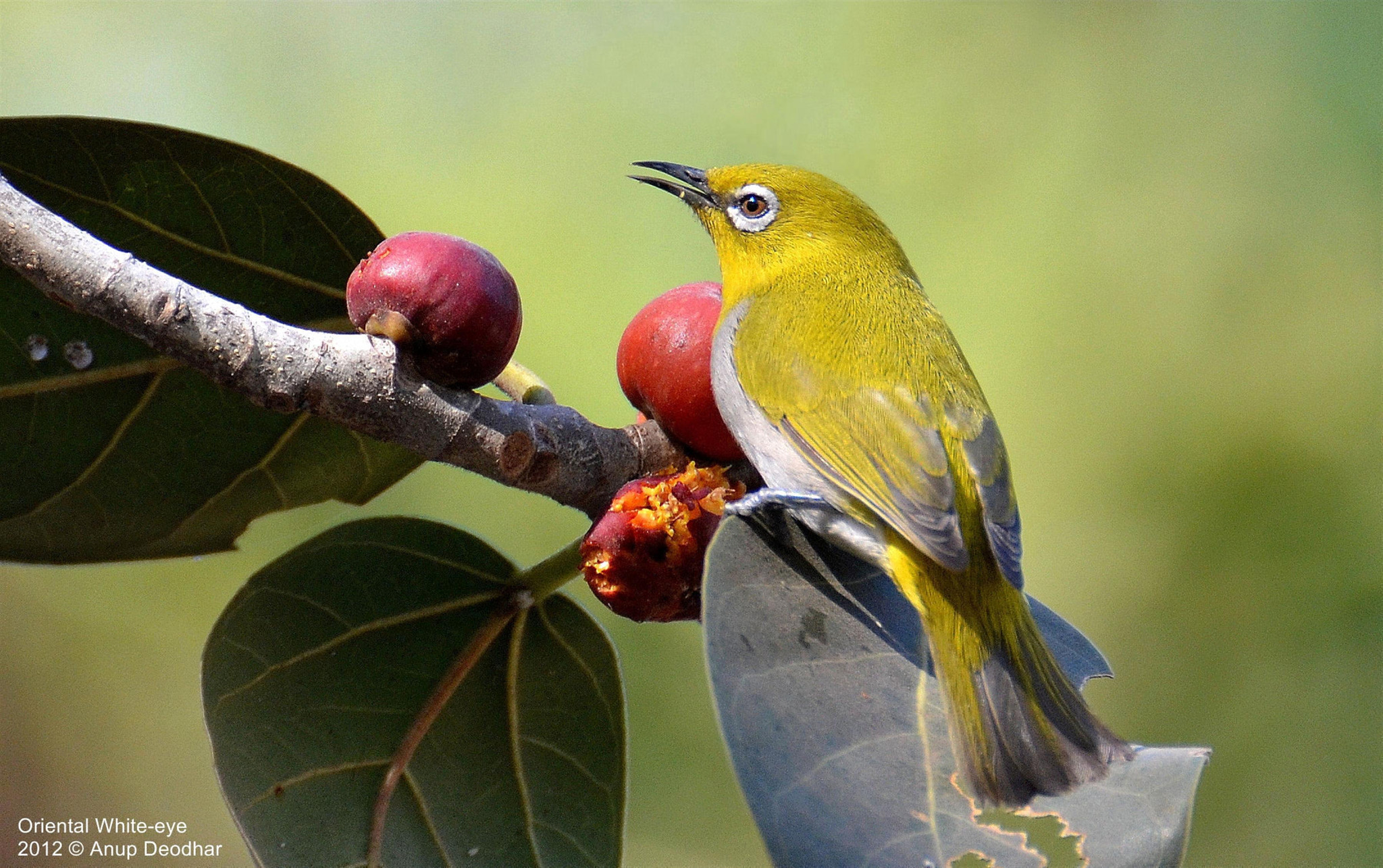 Photograph Oriental White-eye by Anup Deodhar on 500px