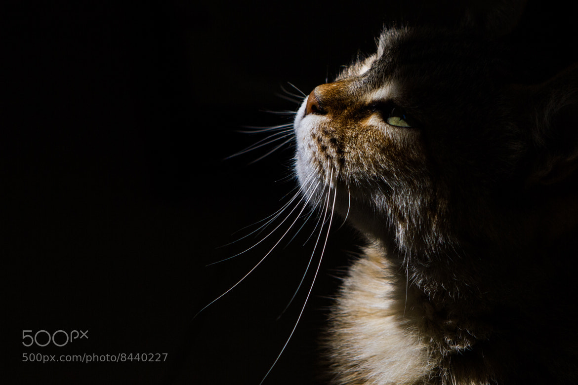 Photograph Light on Cat by Roy Rozanski on 500px