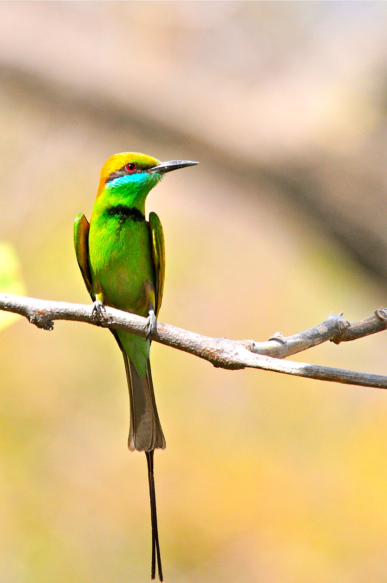 Photograph Green Bee-eater by Hermes S on 500px