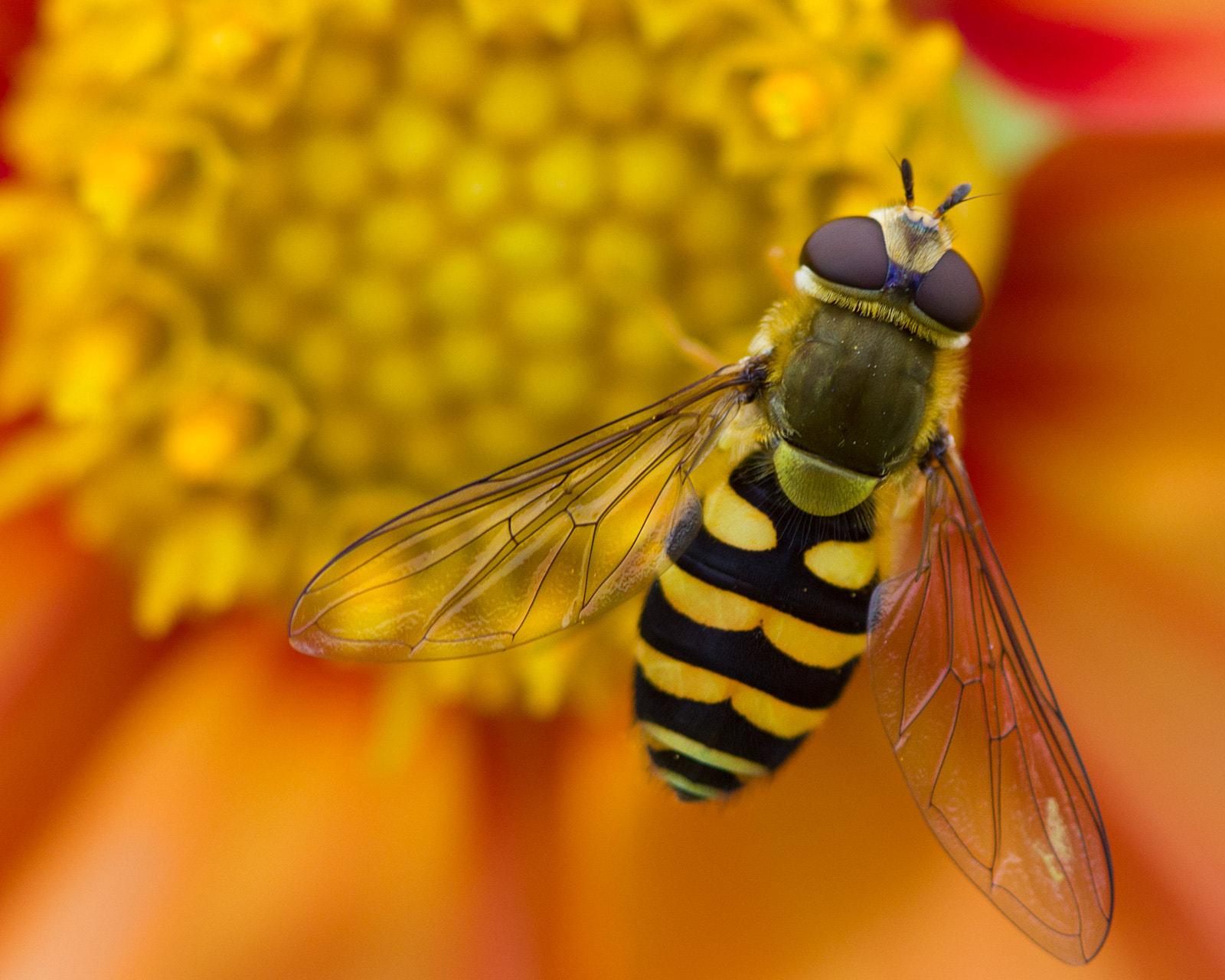 Photograph Hoverfly by Mike Carson on 500px