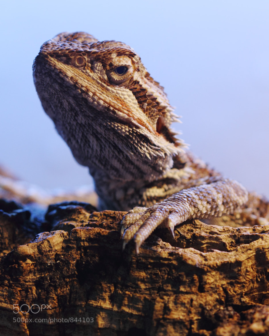 Photograph Bearded Dragon by Mike Carson on 500px