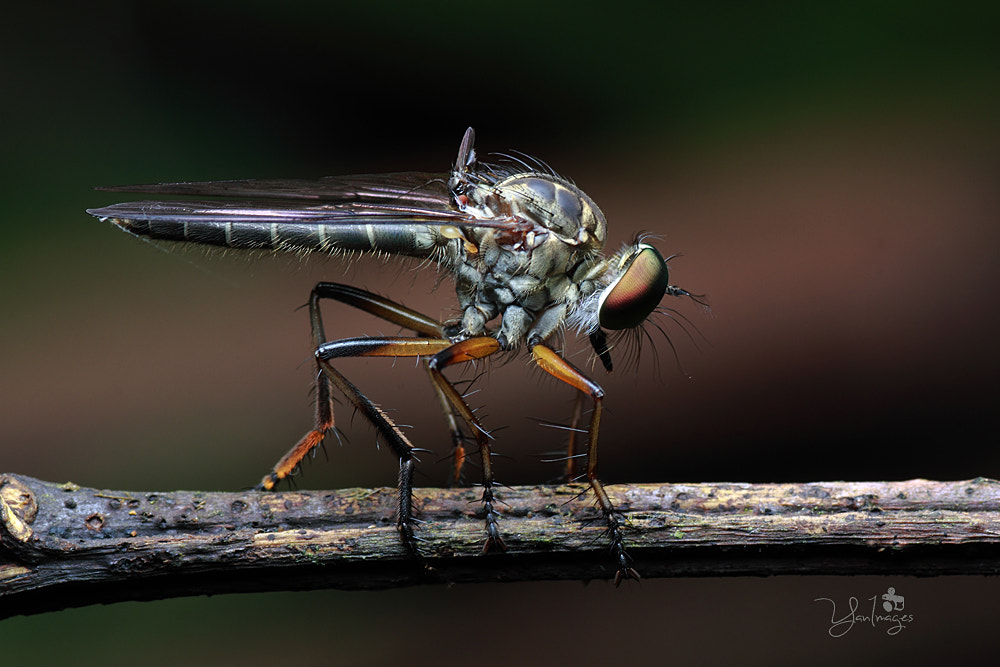 Photograph Robberfly by Rattlin . on 500px