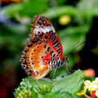 Постер, плакат: The Beautiful Lacewing butterfly